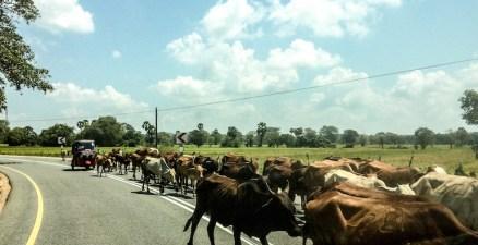 cows road