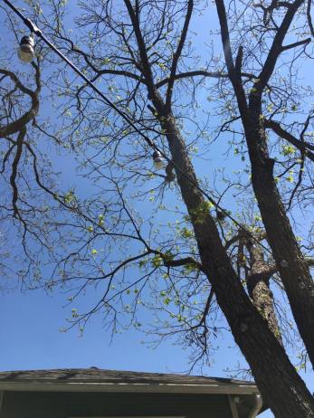 pecan leafing out