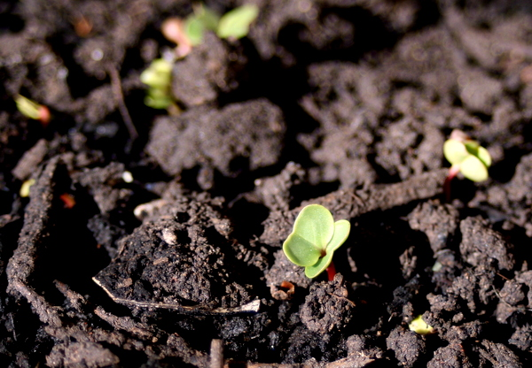 Radish seedling in soil