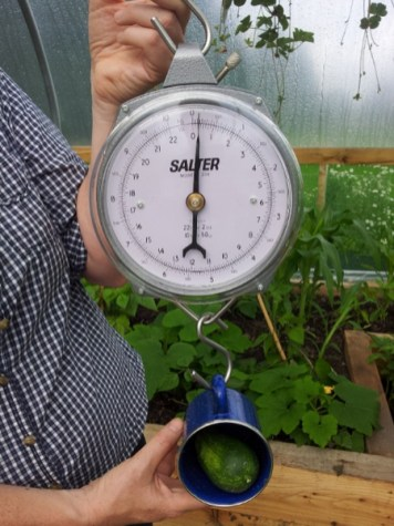 Cucumber being weighed using a hand-held scale