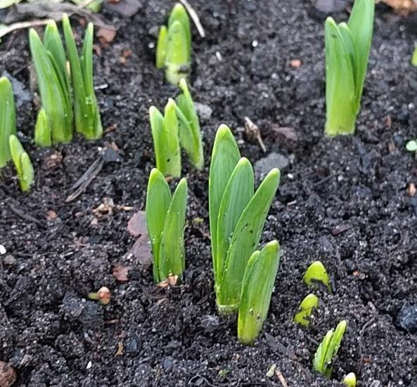 Daffodill shoots
