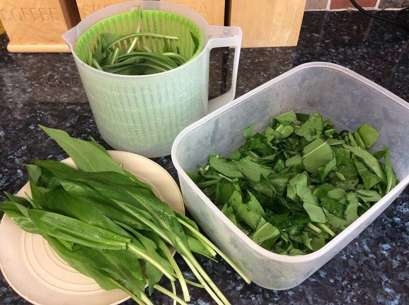 A photo of harvested wild garlic leaves