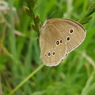 A photo of a ringlet butterfly