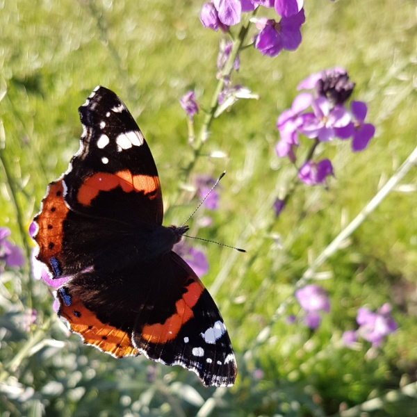 Red Admiral feeding on perennial wallflower