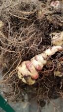 A photo of Close up of tuberous nasturtium root