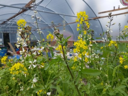 Salads in the polytunnel are starting to flower