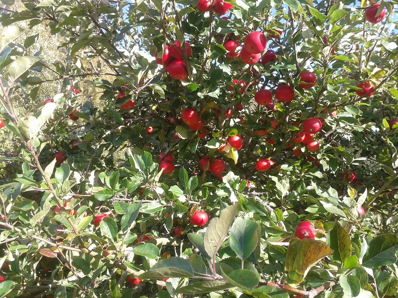 A photo of red apples in a tree
