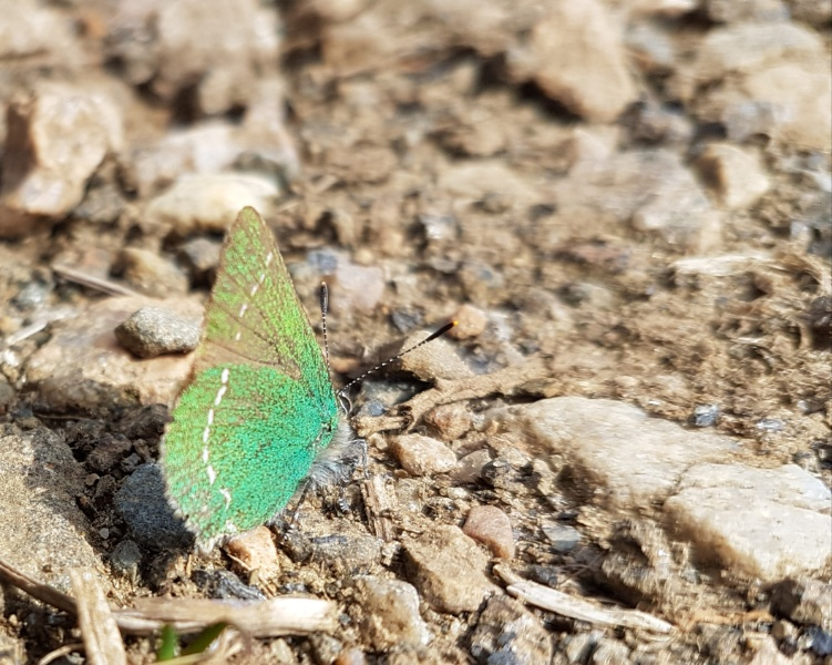 A photo of a green hairstreak butterfly