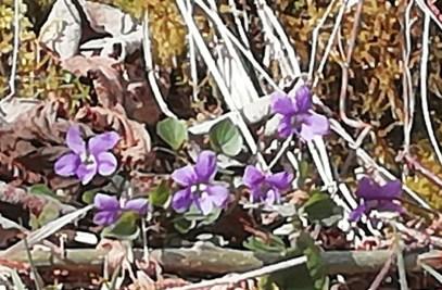 Violets at Attadale