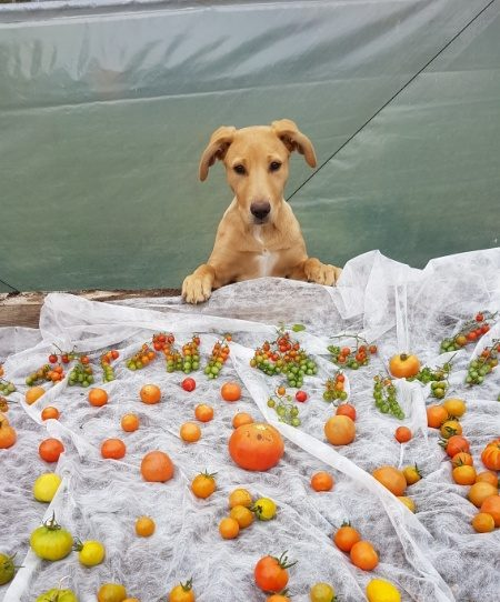 A photo of the puppy in charge of tomatoes