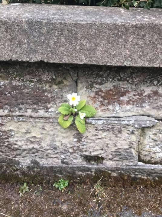 primrose on a wall