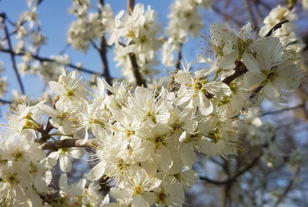 Flowering damsons at Fruit Tree Walk