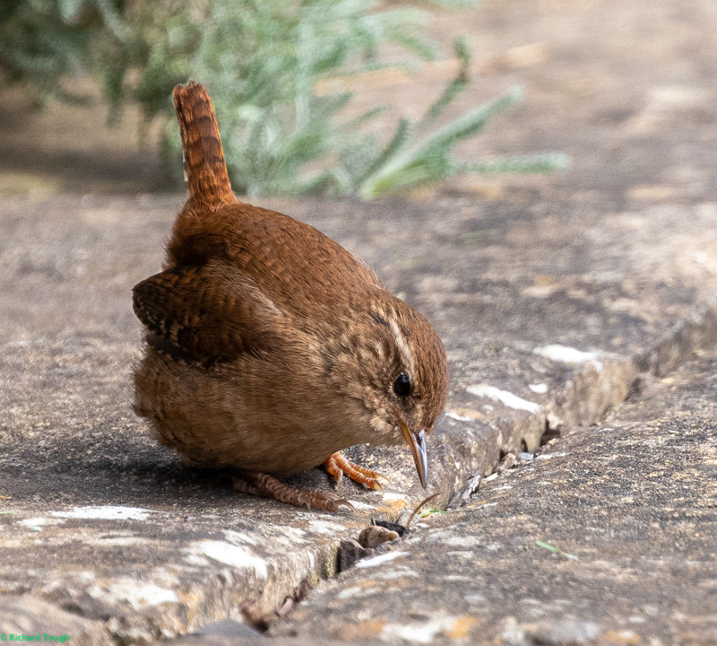 A photo of a wren