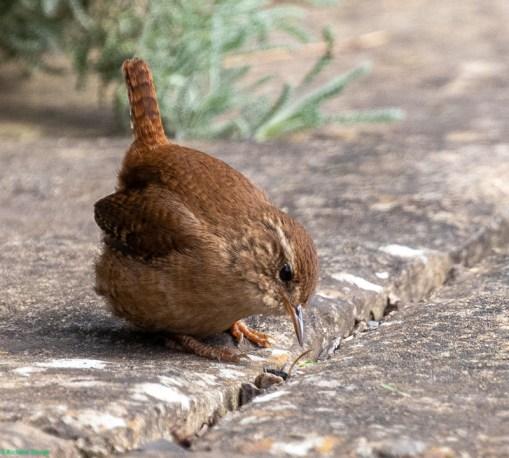 A photo of a wren