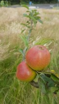 Fruit Tree Walk in July