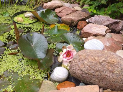 Kathleen's pond with a water lilly