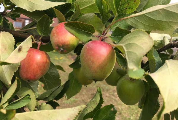 Fruit Tree Walk Apples