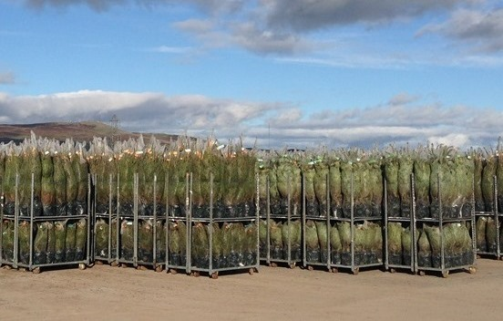 Rows of Christmas Trees loaded into trollys