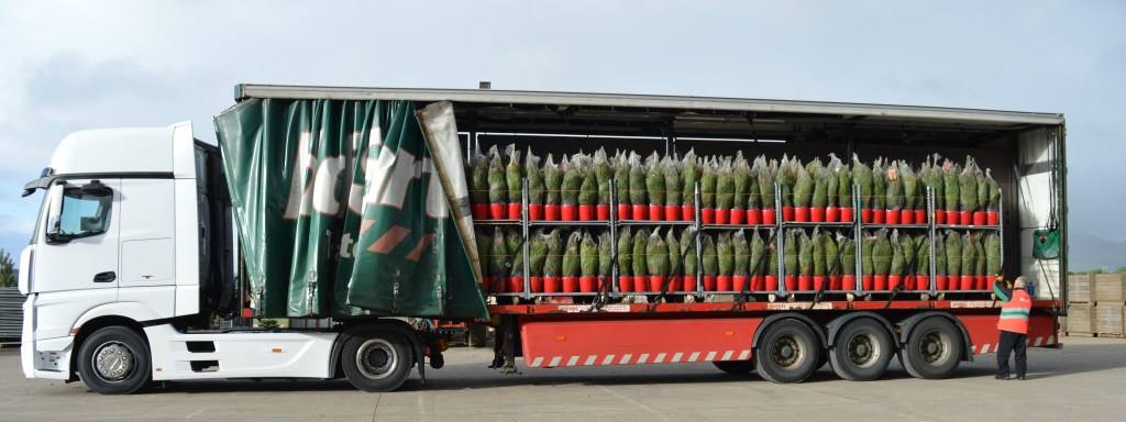 Large lorry filled with Christmas trees