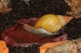 Badende A. fulica rodatzi