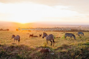 02 - Kenia Archie Gone Lebanon Kenia: Kuva on otettu Masai Maran kansallispuistossa Keniassa marraskuussa 2016. Aamukuudelta alkaneen aamusafarin kohokohta oli nähdä eläinten leikittelevän auringonnousun tarjoamassa valossa. Myynnissä myös valmiina tauluna!