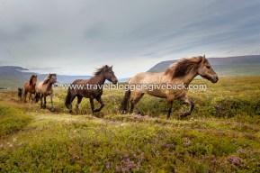 12 - Goðafoss, Islanti Fangirl Quest Goðafoss, Islanti: Olimme käymässä Goðafoss-vesiputouksilla pohjois-Islannissa, kun yhtäkkiä jono ratsastajia ilmestyi näkyviin. Heidän perässään seurasi valtava lauma puolivillejä islantilaishevosia. Lauma suuntasi jonomuodostelmassa kohti meitä ja pian meidät ympäröikin korviahuumaava kavioiden jymy. Juoksin äkkiä kamerani kanssa polun varrelle ja onnistuin nappaamaan aika monta kuvaa. Tästä otoksesta muodostui kuitenkin nopeasti yksi koko vuoden suosikeistani. Käsittämättömän taianomainen hetki, jonka jälkeen valahti poskelle kyynel jos toinenkin. Myynnissä myös valmiina tauluna!