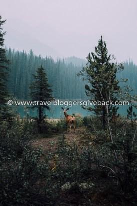 42 - Jasperin kansallispuisto, Kanada Suvi Höydén Photography & Blog Jasperin kansallispuisto, Kanada: Kuva on otettu Kanadassa Jasperin kansallispuistossa. Meloimme yhteensä 30 km viettääksemme yhden yön villieläinten keskellä Fisherman's Bayssä Maligne Laken rannalla. Otin itse torkkuja riippumatossa kun havahduin rapinaan, enkä tiedä kumpi ihmetteli näkyä enemmän, minä vai peura. Myynnissä myös valmiina tauluna!