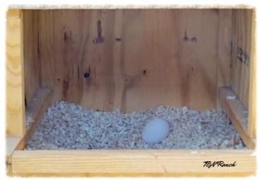 Silkie Egg 10-23-14