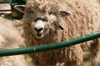 Sheep to Shawl Festival Archives - TBR News Media