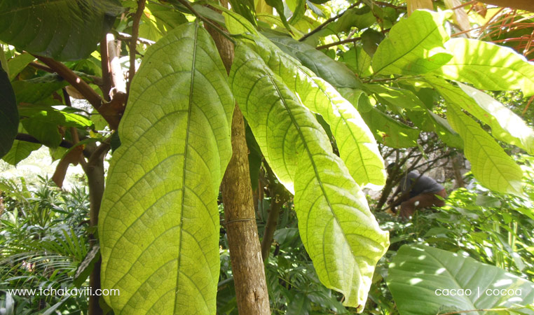 cocoa tree leaves   feuilles de cacao