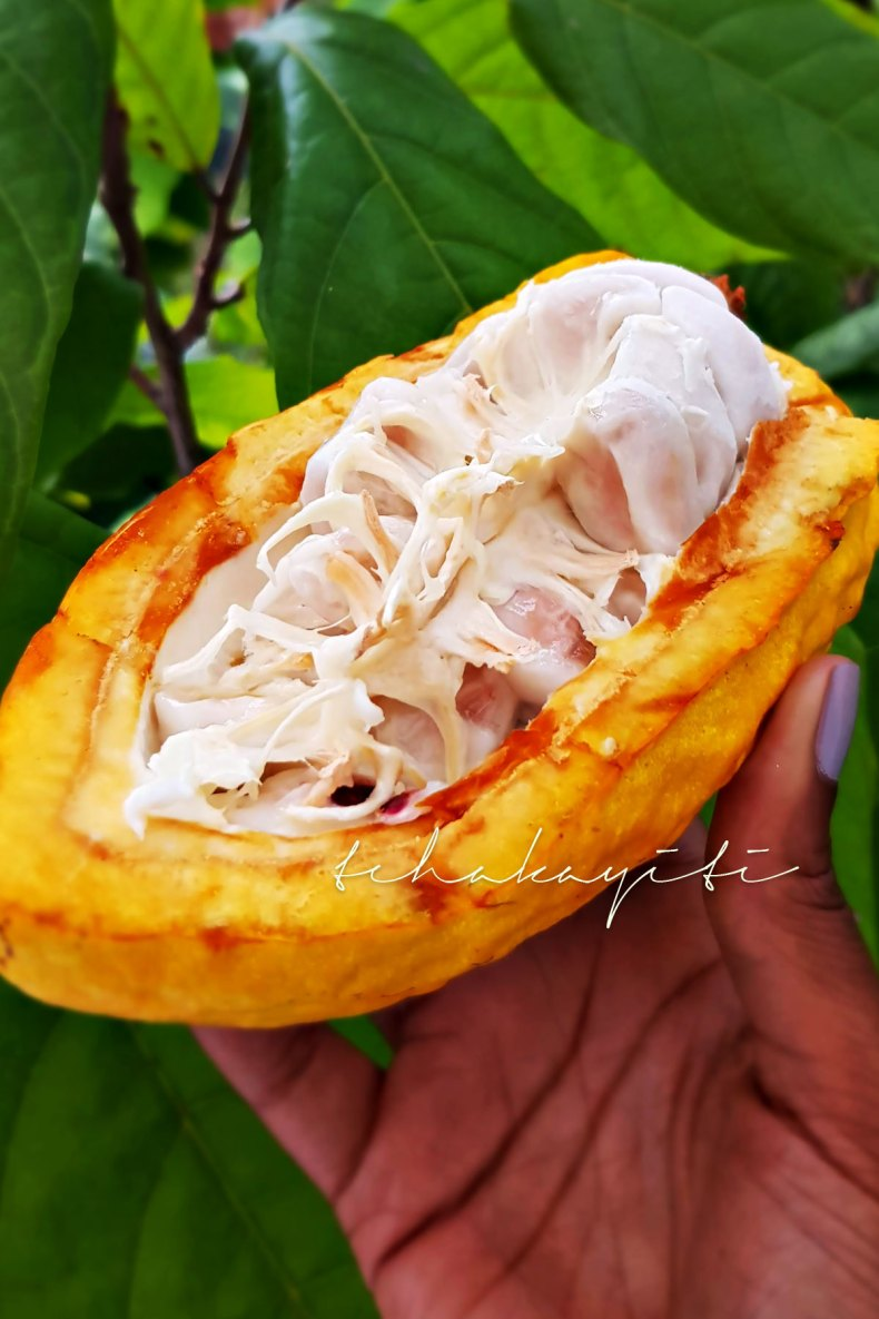 Cocoa, the fruit which beans are turned into chocolate. | tchakayiti.com