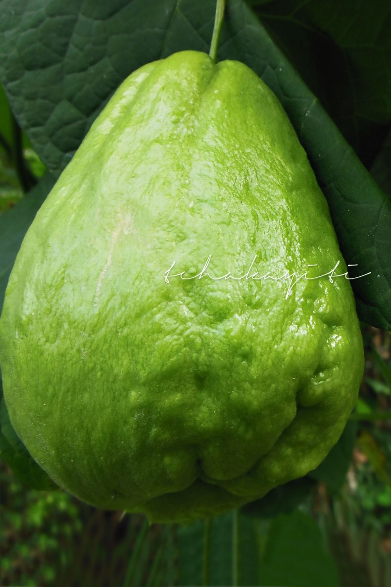 Mirliton better known as chayote or christophine around the world. | tchakayiti.com