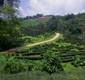 tea_farm_thailand_munsch