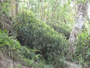 tea plant rajiv april