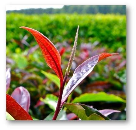 Purple tea bush, 2 leaves and a bud