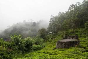 tea plantation ceylon