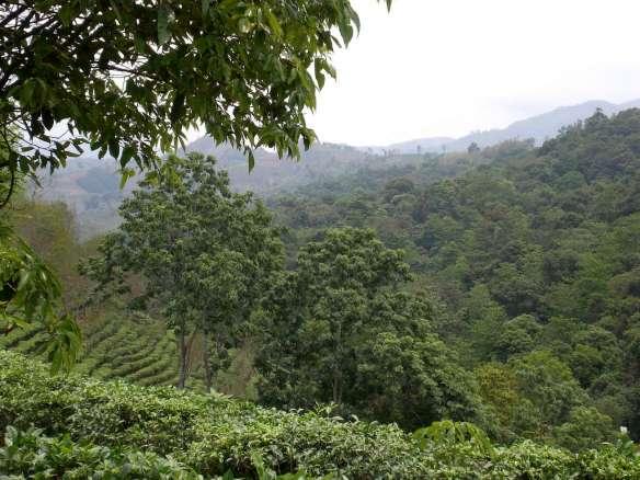 teaforest
