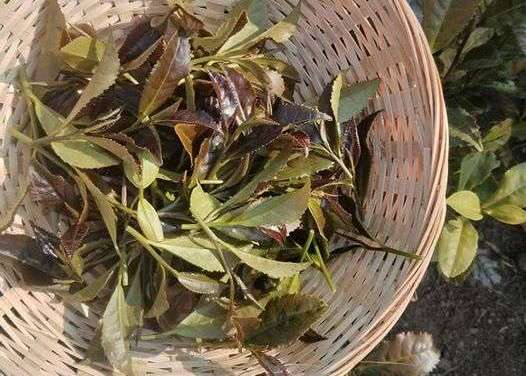 The first Spanish tea harvest
