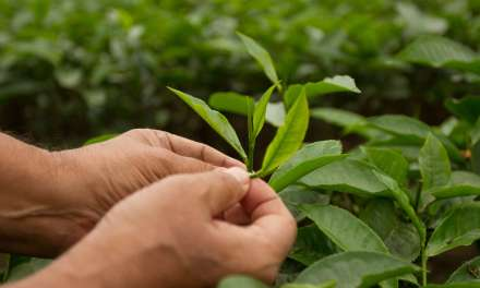 Tea Trend of 2018: The Death of Direct Trade