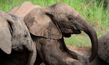 Coexistence: Elephants, Tigers, and Tea