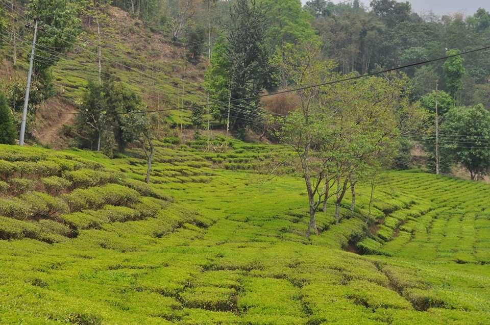 Narendra Kumar Gurung on Developing Local Tea Production in Nepal – Part 1