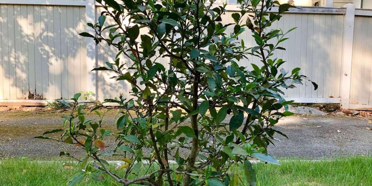 My Tea Plant; Growing and Harvesting tea In my Backyard