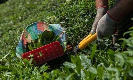 Japanese Tea Farming Technological Innovation – Part 1