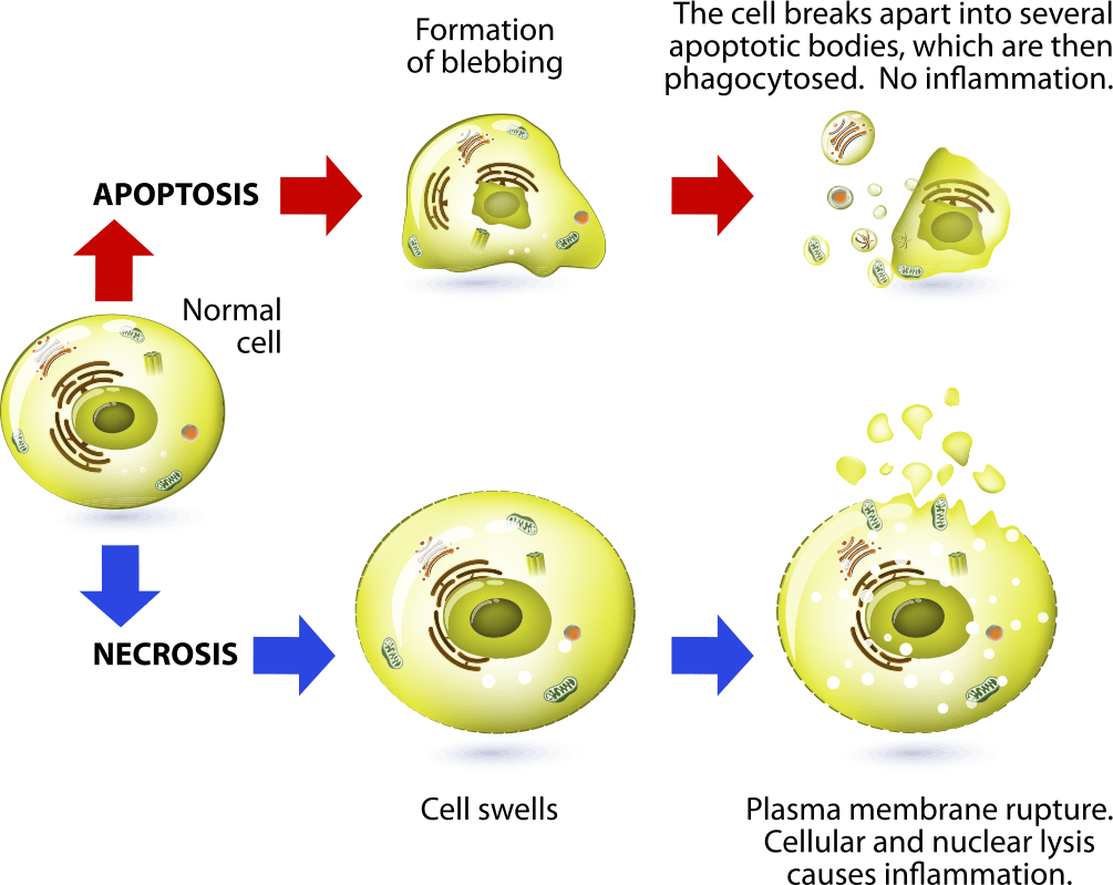How apoptosis process maintains health- diagram