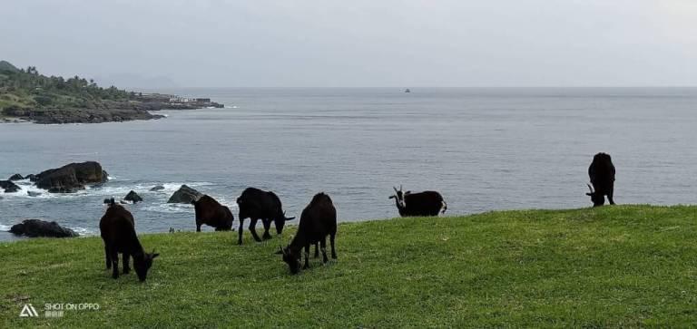 蘭嶼人會跑會爬的財產-山羊