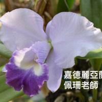 4.嘉德麗亞蘭換盆作業-佩珊老師養蘭隨筆