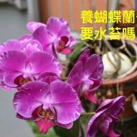 9-養蝴蝶蘭真的要用水苔嗎?佩珊老師養蘭隨筆