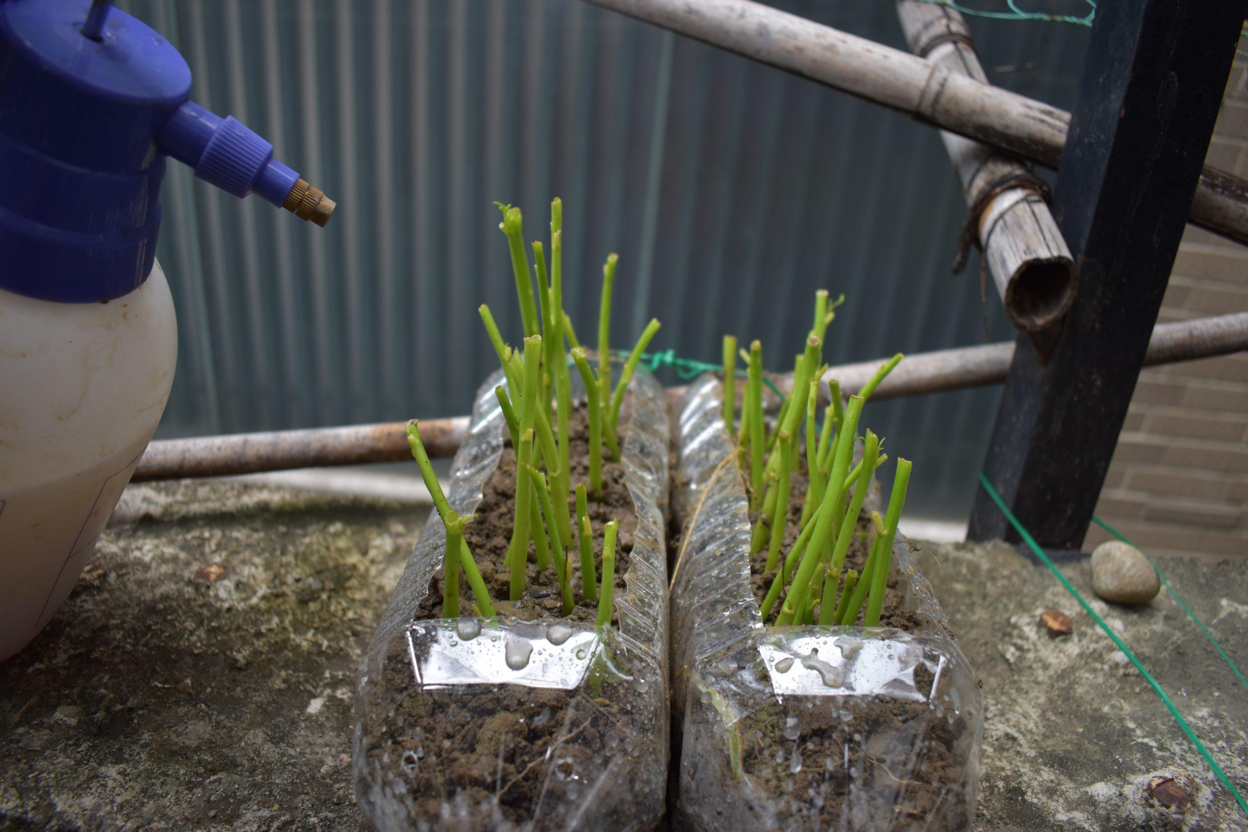 環保愛地球寶特瓶回收 種菜日記 空心菜