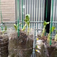 環保愛地球寶特瓶回收種菜日記-青江菜