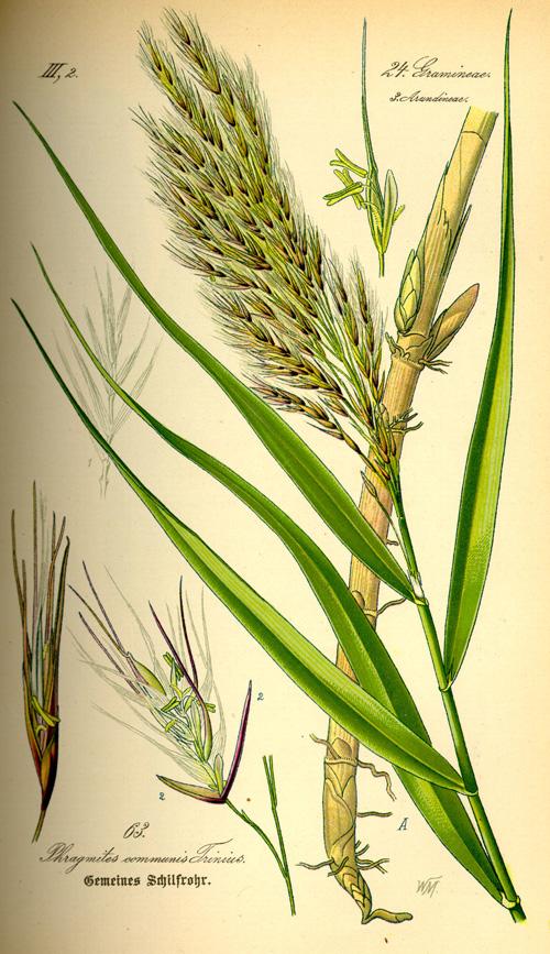 Reeds01